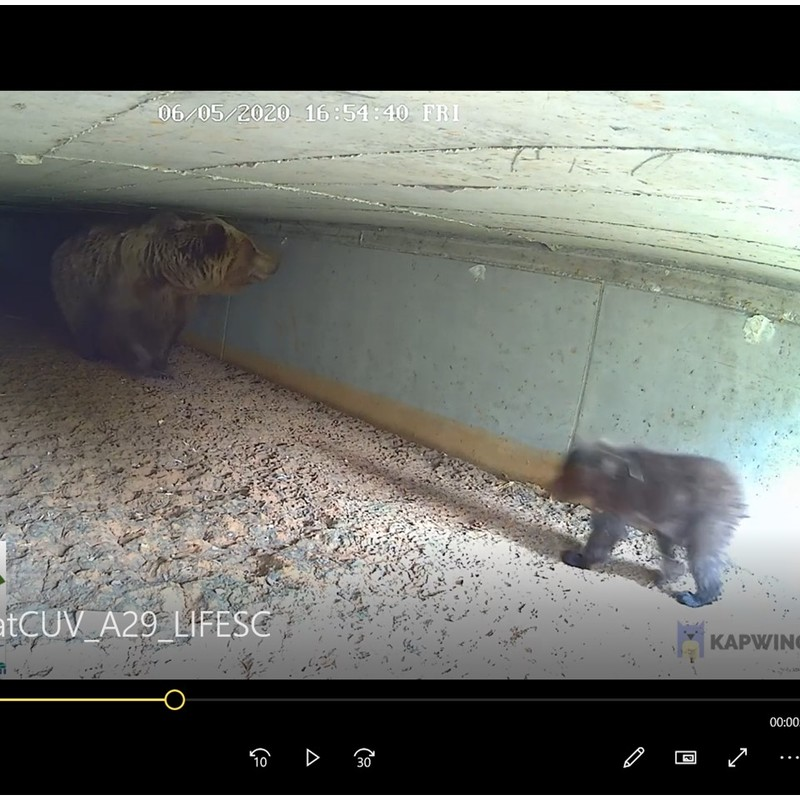 Watch videos of bears using underpasses under Egnatia Highway in Greece