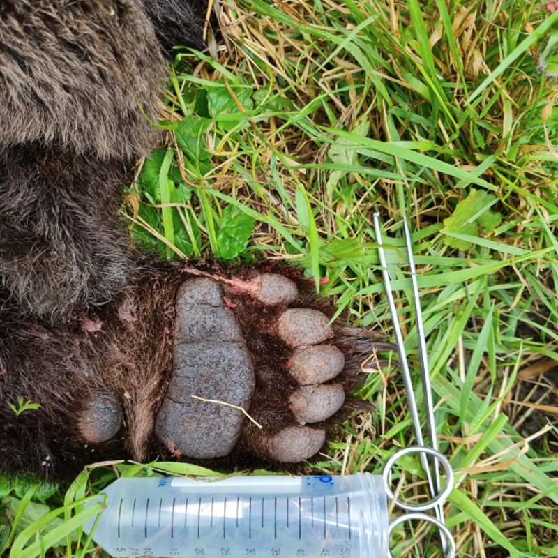 In Romania: Tragic accident with a bear cub lured by food for stray dogs